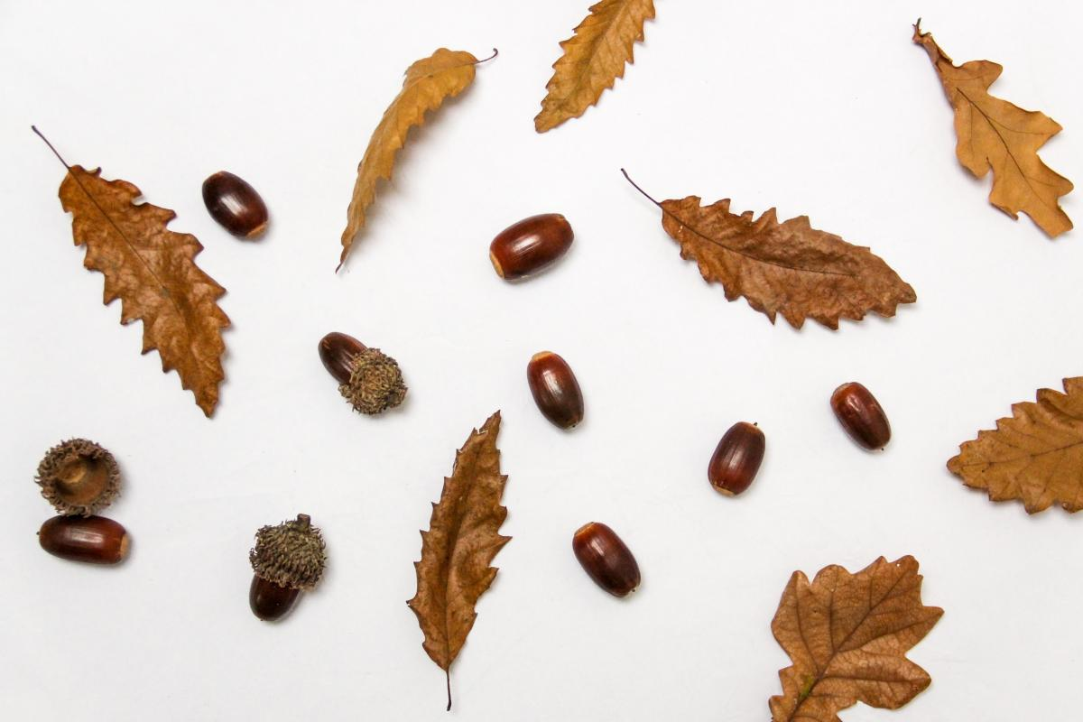 Acorns and Leaves Flat Lay Free Photo #420422