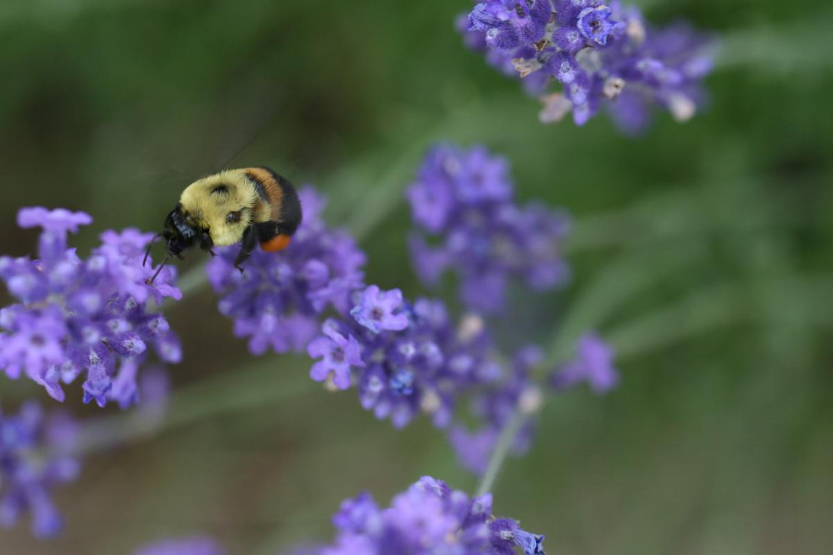 Lavender Herb Vascular plant #420553