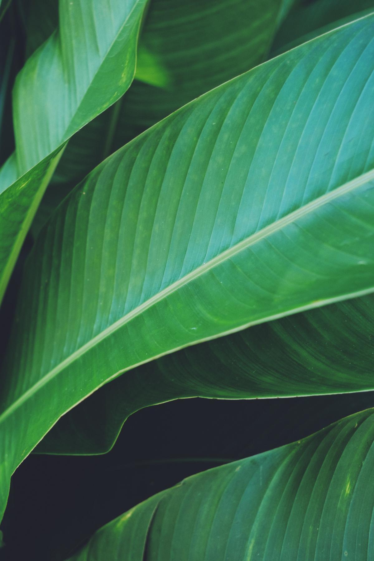 Banana Plant Herb #420975