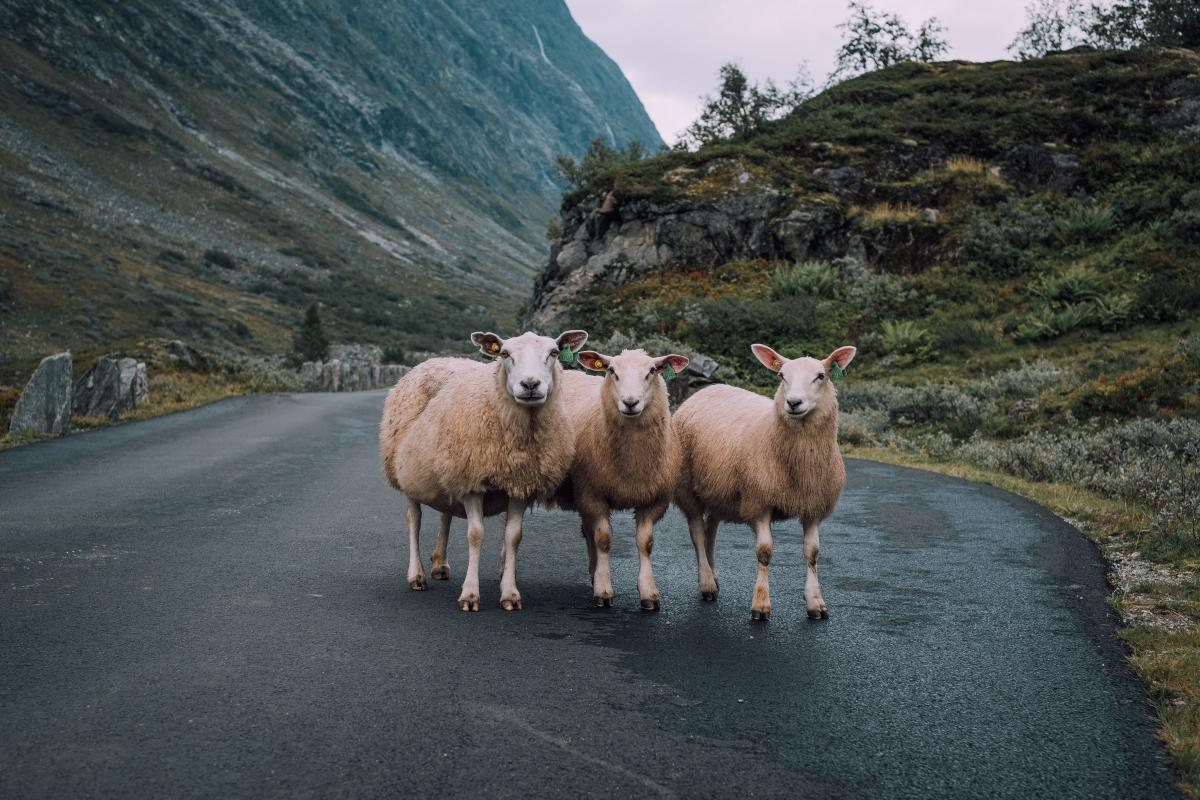Simpleton Sheep Ram #421143
