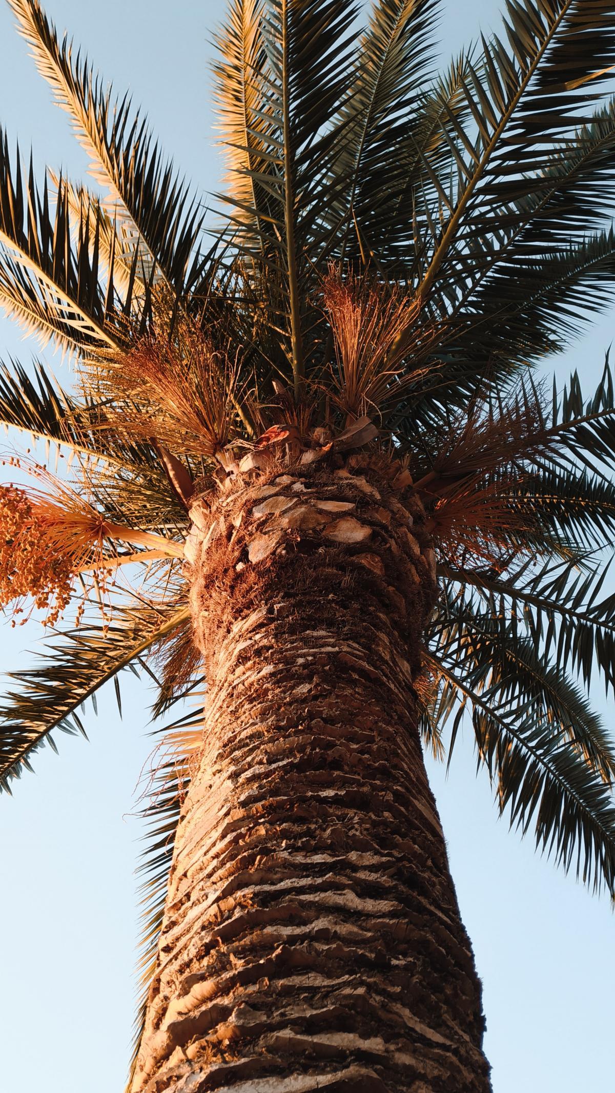 Coconut Date Tree