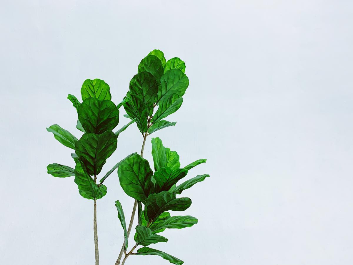 Plant Herb Leaf