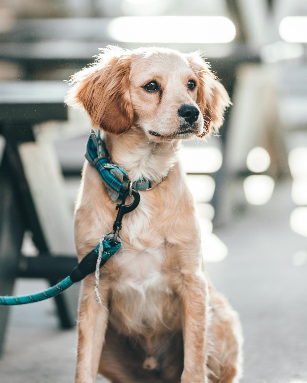 Dog Leash Pet #421399