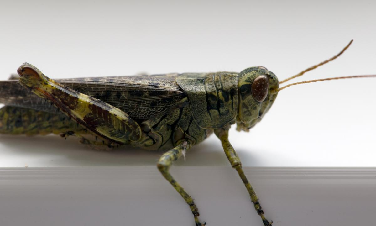 Grasshopper Insect Arthropod