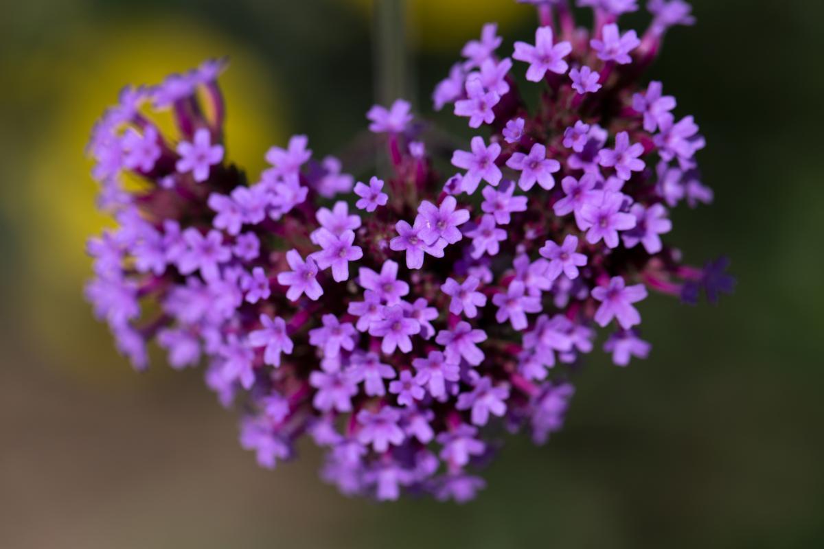Thyme Herb Vascular plant #421432