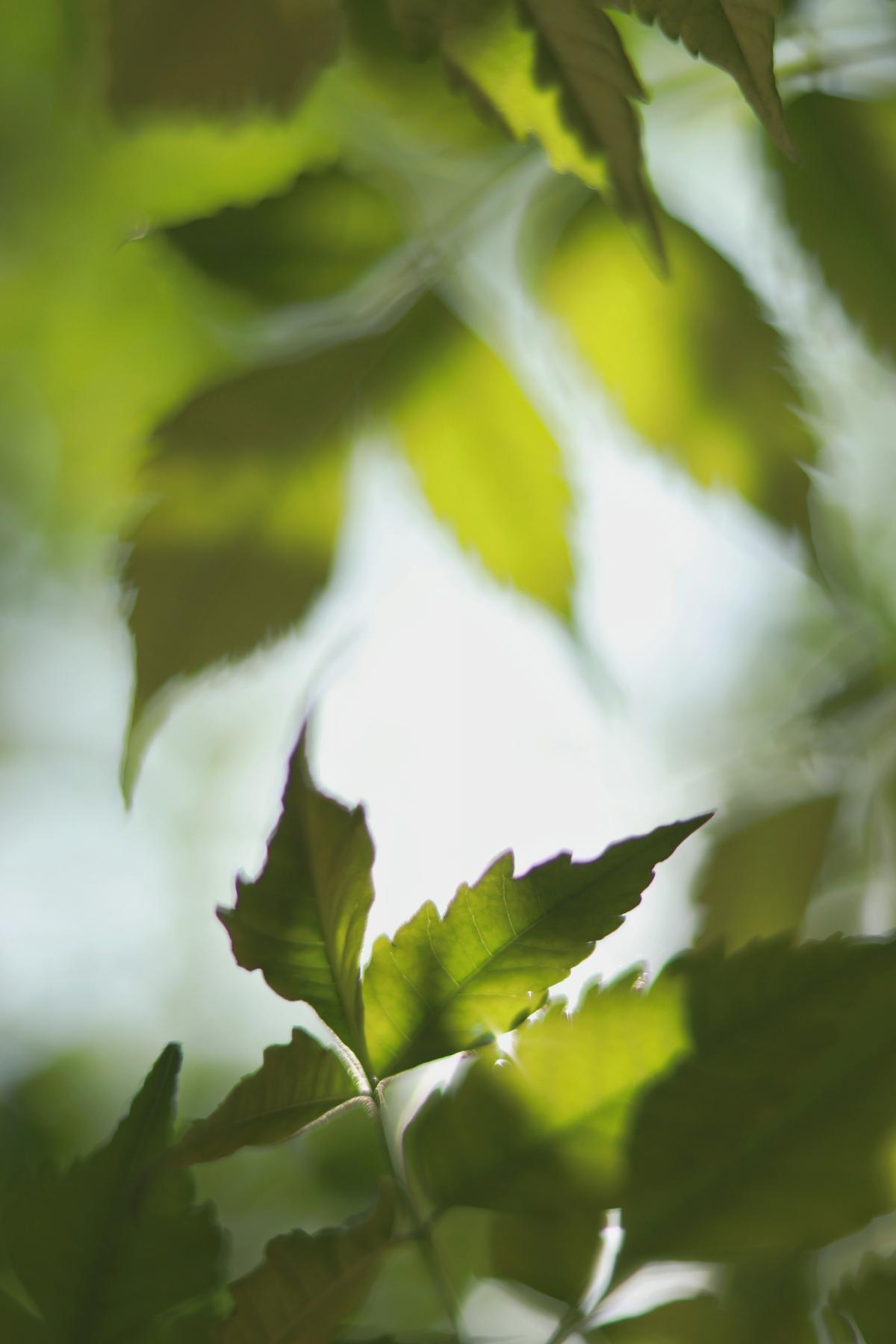Plant Maple Leaves #421759
