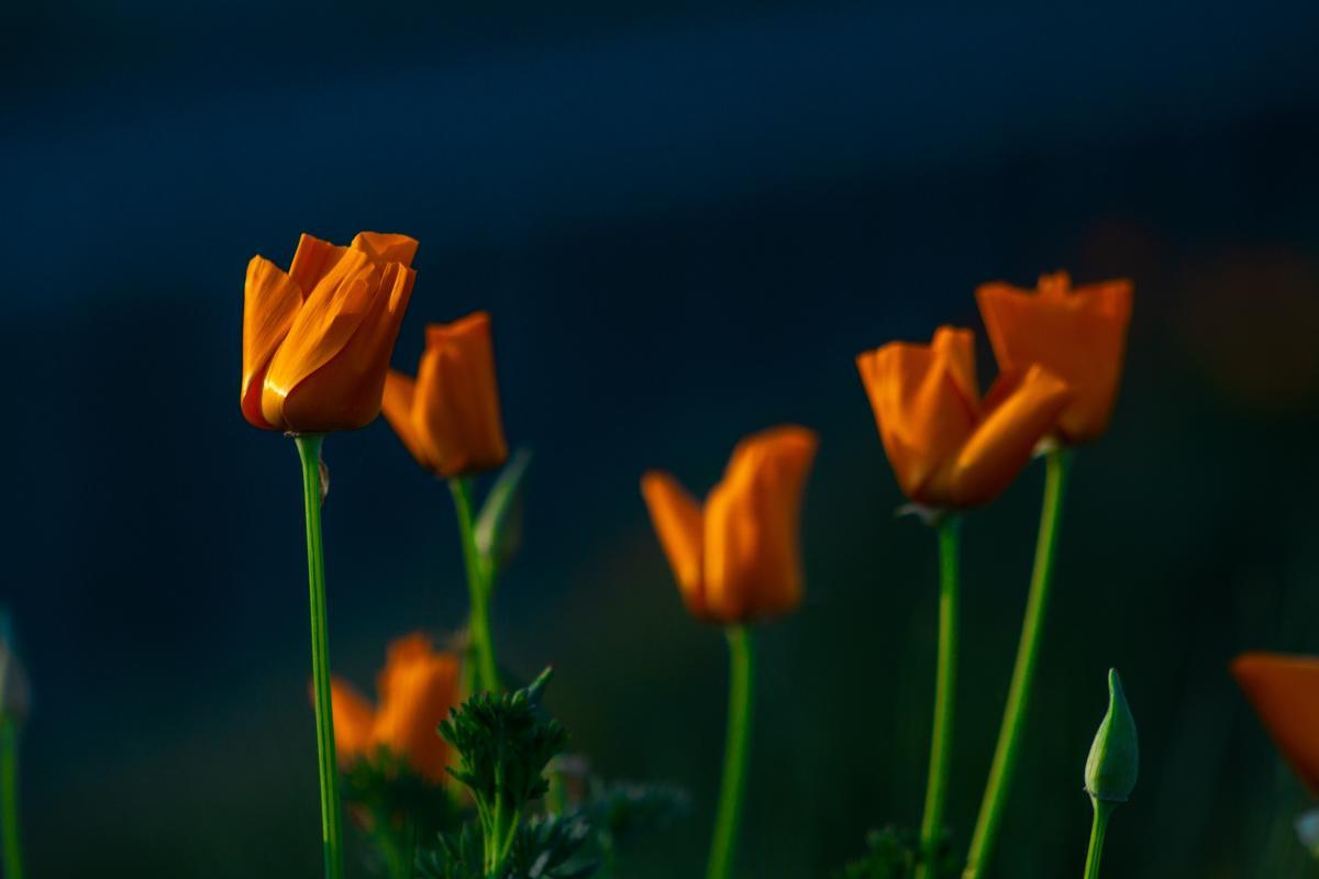 Tulip Tulips Spring
