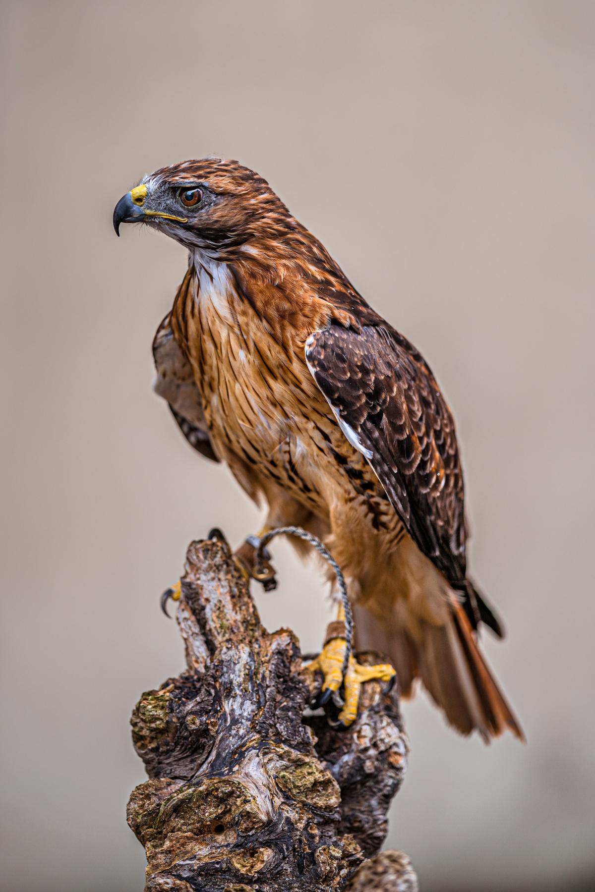 Hawk Bird Falcon