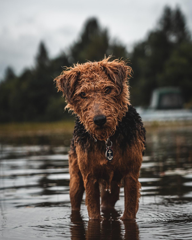 Terrier Hunting dog Dog #422164