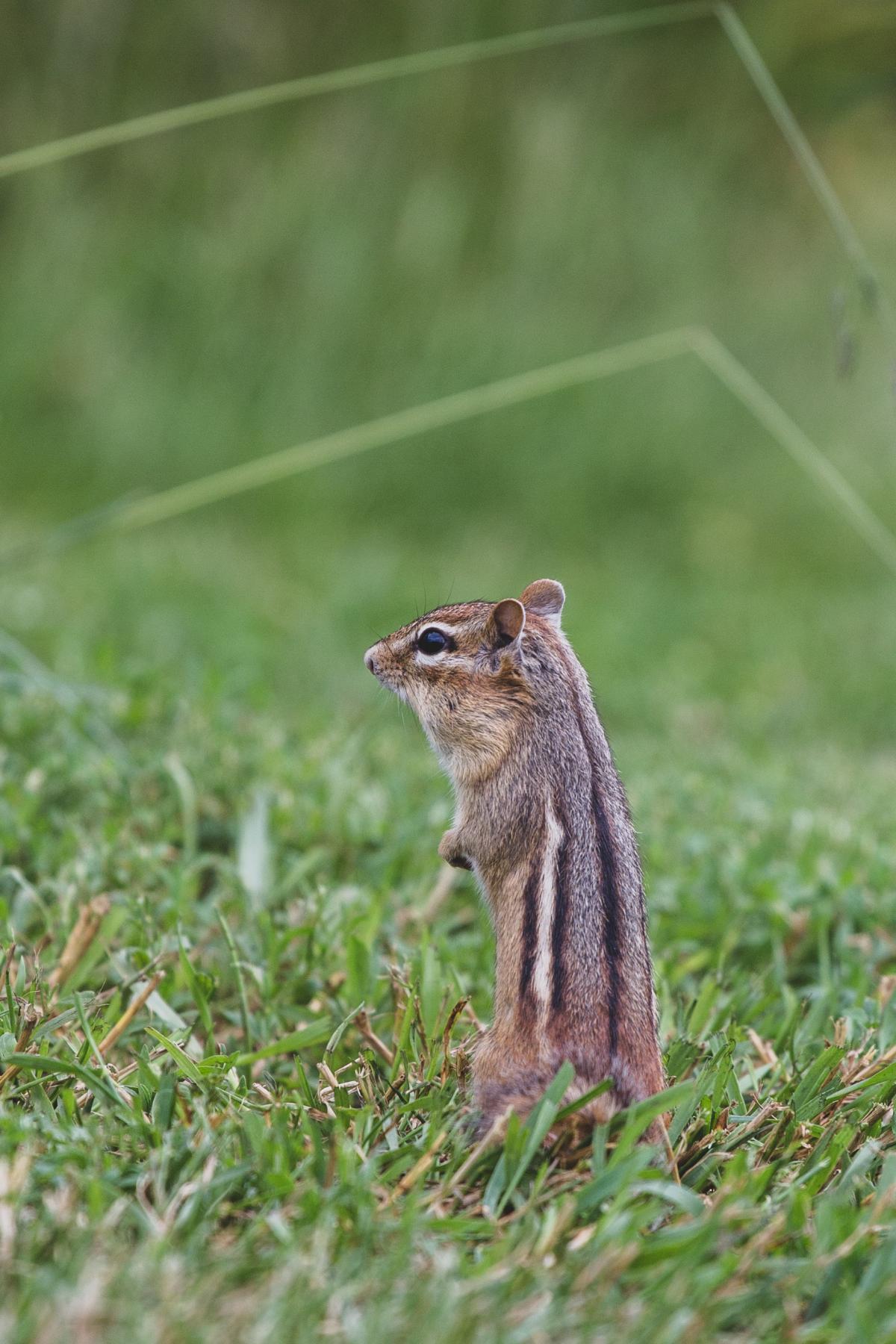 Fox squirrel Rodent Squirrel #422236