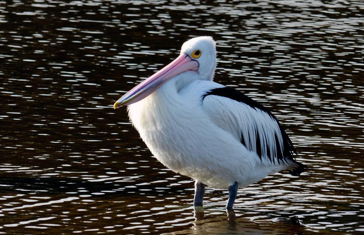 Pelican Bird Seabird