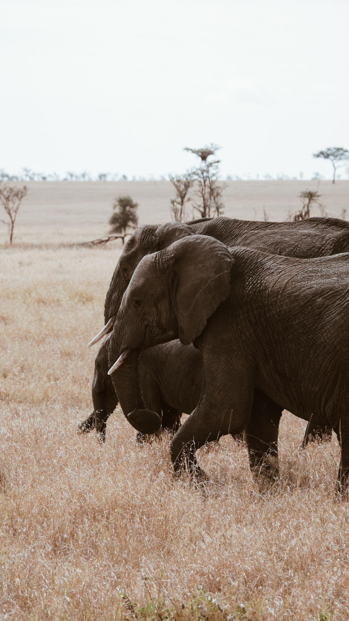 Elephant Mammal Safari #422541