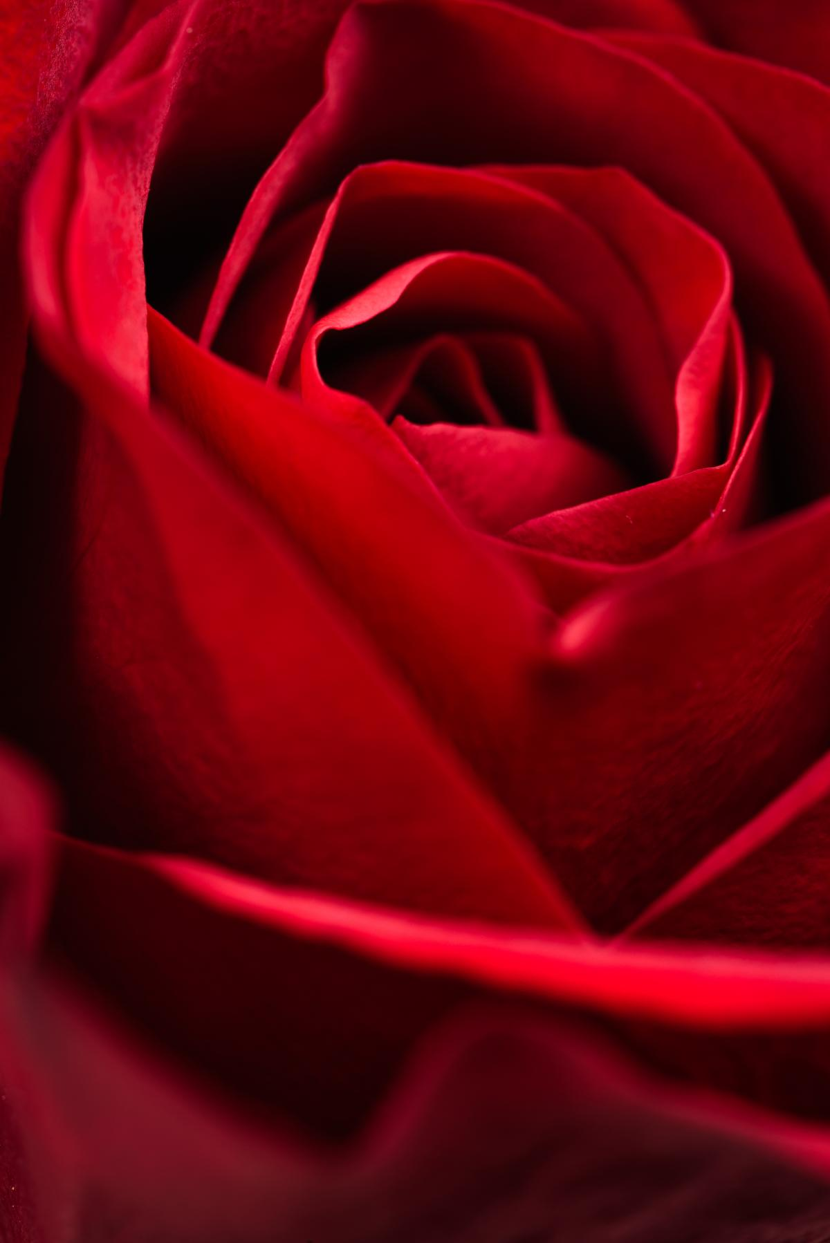 Red Rose Macro Free Photo #423104