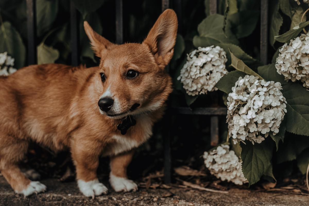 Corgi Dog Canine #423263