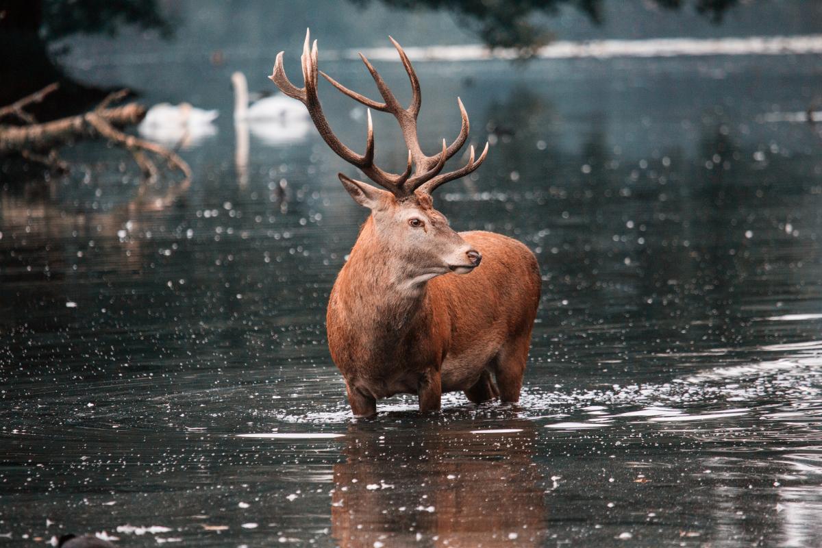 Buck Placental Mammal #423279