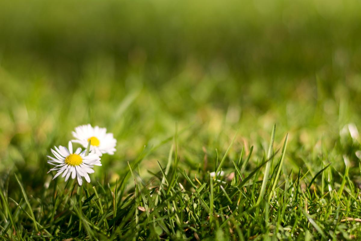 Two Daisies in the Grass - Free Image For Commercial Use