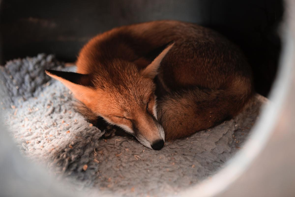 Fox Canine Red fox #423789