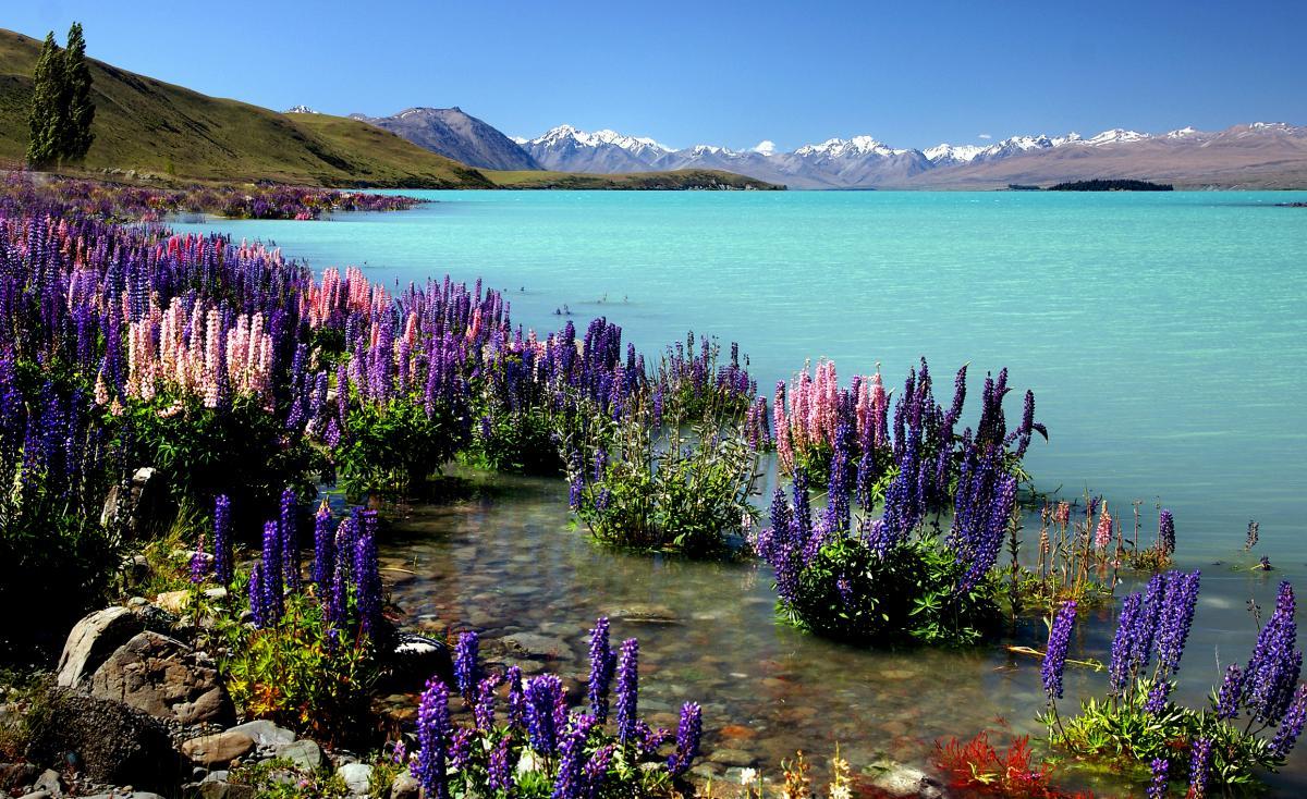 Lake Landscape Lupine #424049