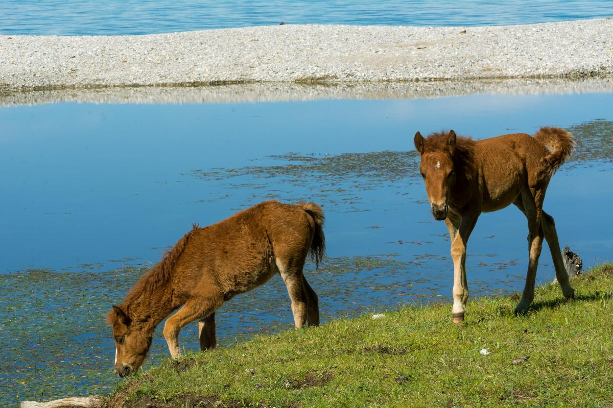 Foals in the wild by the lake - Free Image For Commercial Use #424371