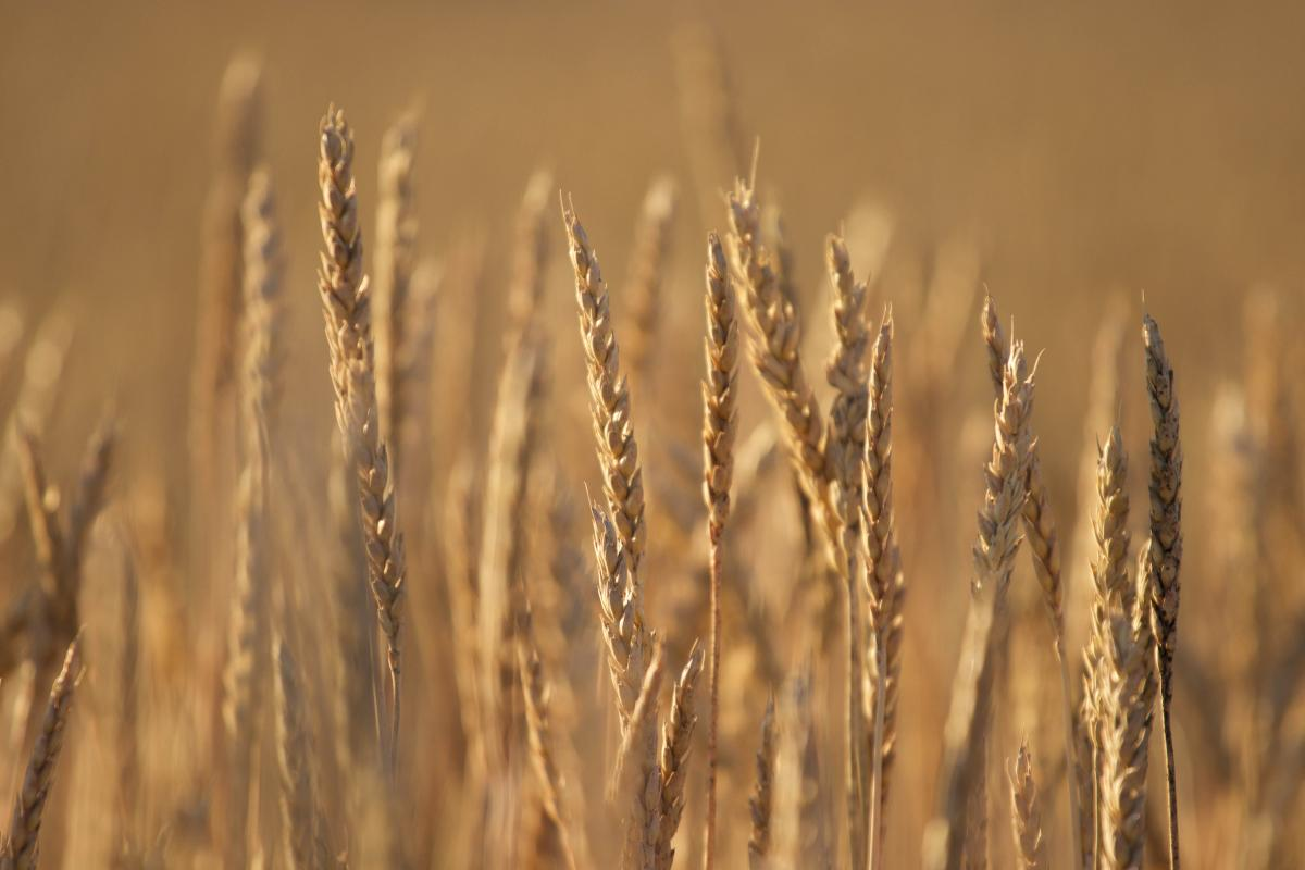 Wheat Cereal Field #424493
