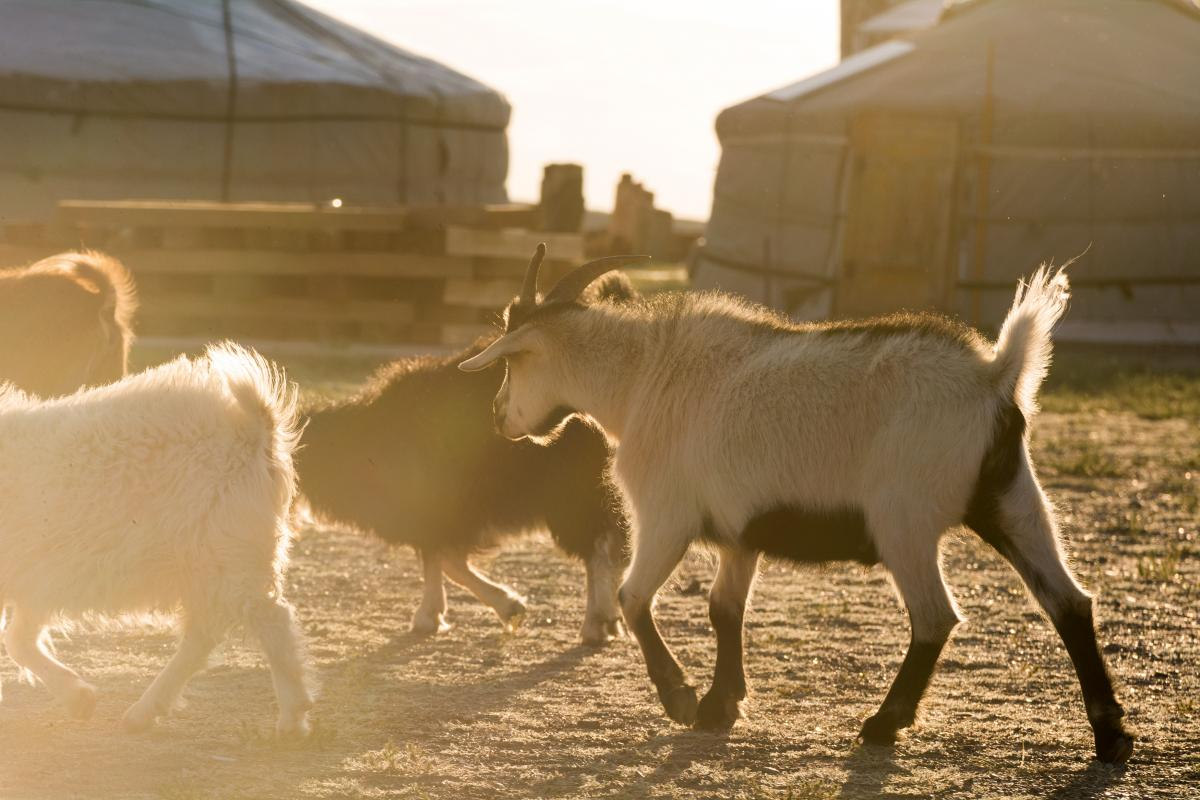 Goats and Yurts in Mongolia - Free Image For Commercial Use #424855
