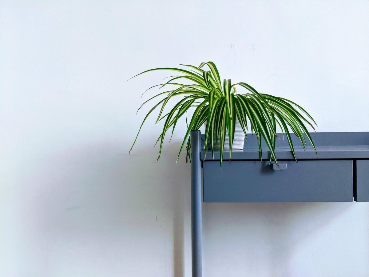 Tree Palm Coconut #424960