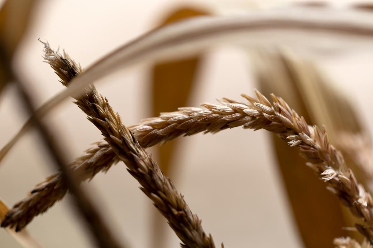 Wheat Cereal Grain #424986