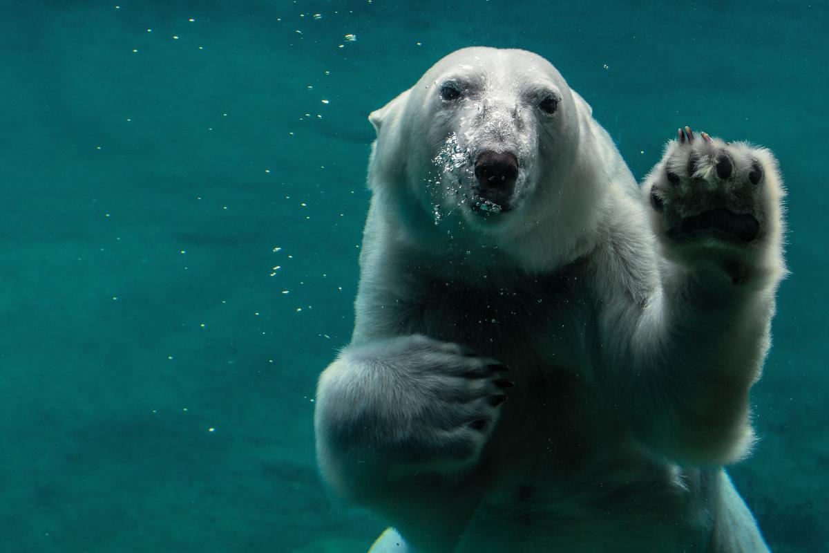 Ice bear Bear Mammal