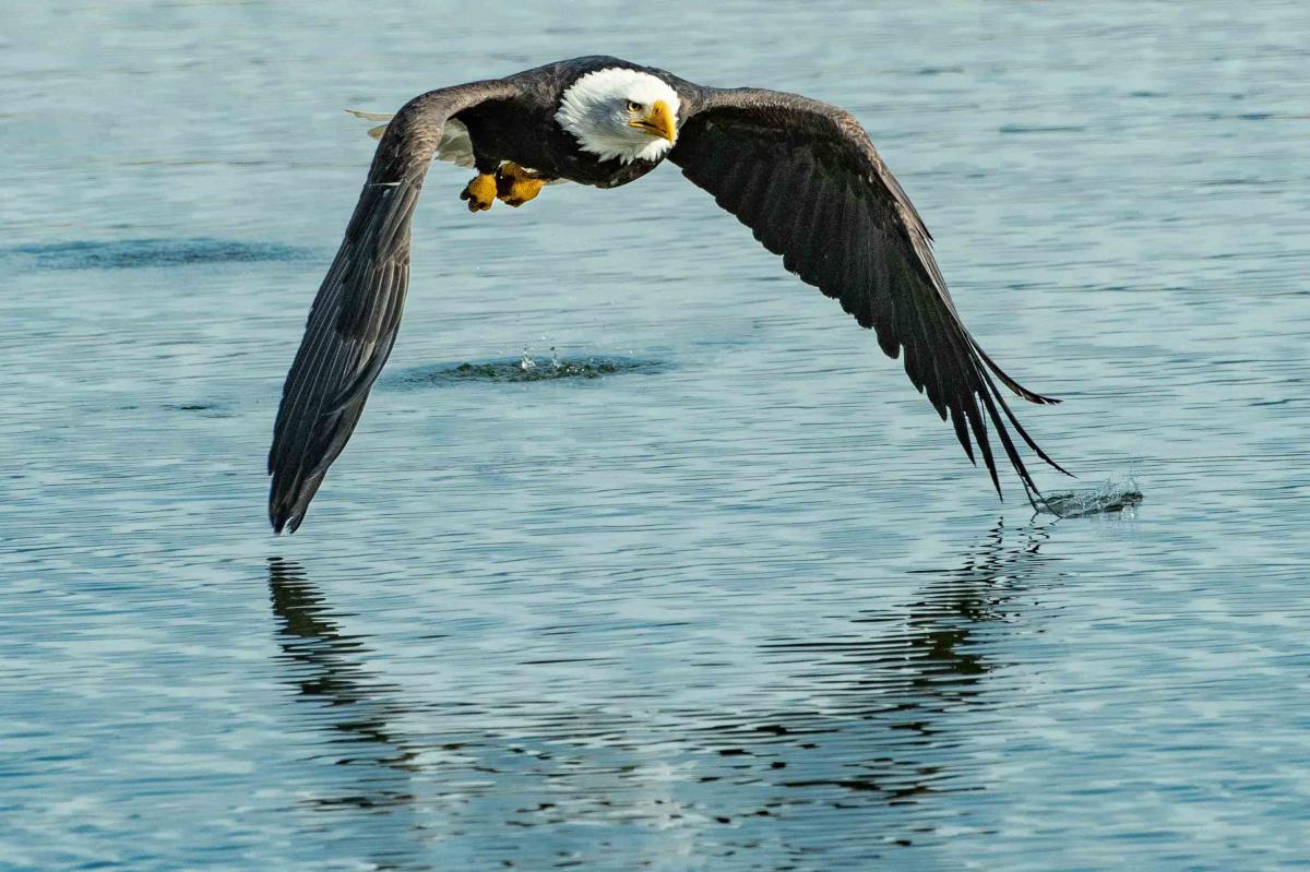 Bald eagle Eagle Bird #425056