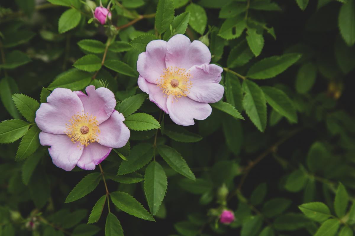 Rose Shrub Plant
