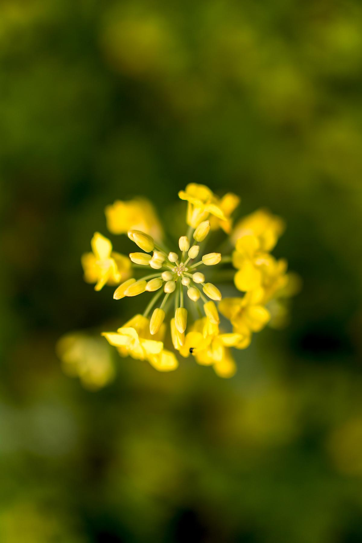 Canola Rape Flower Close-Up - Free Image For Commercial Use