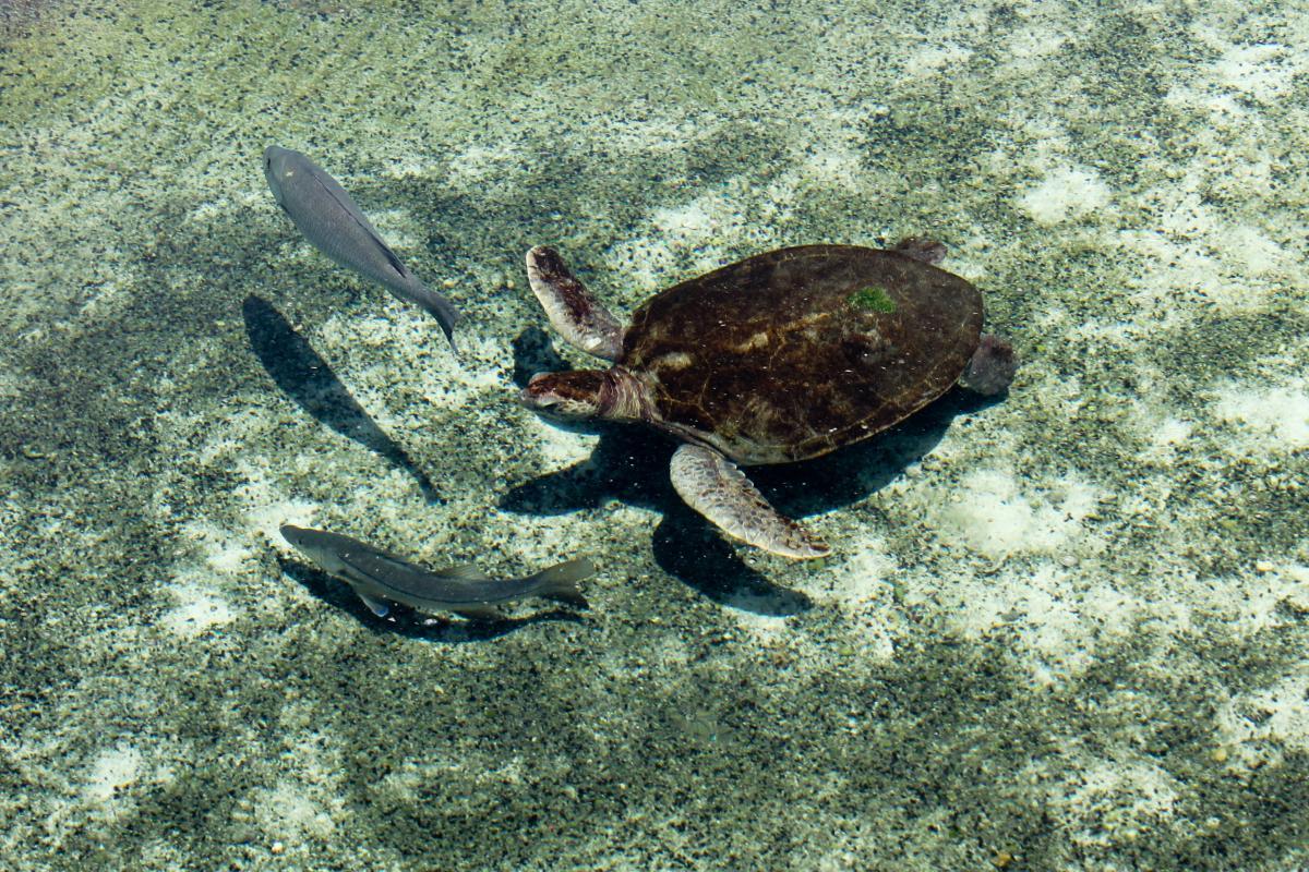 Sea turtle Turtle Terrapin