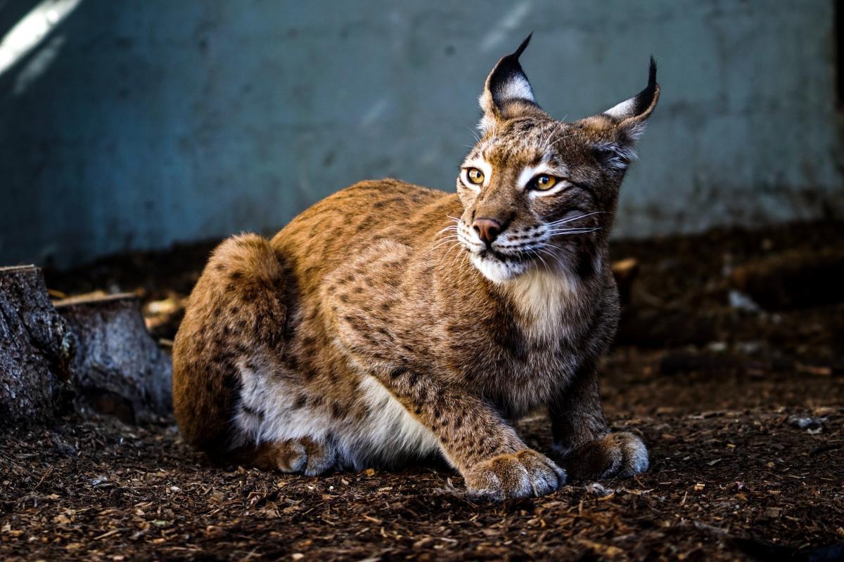 Lynx Wildcat Cat #425727
