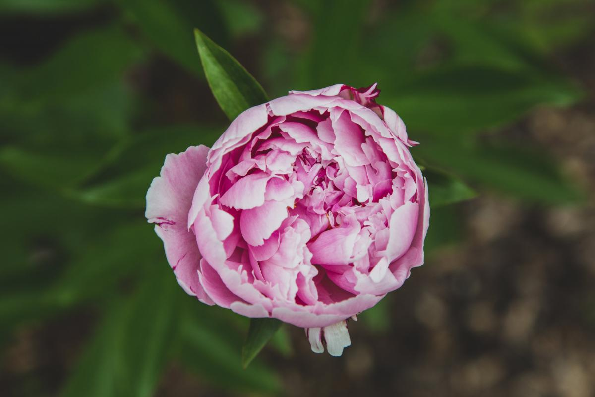 Pink Rose Plant #425881