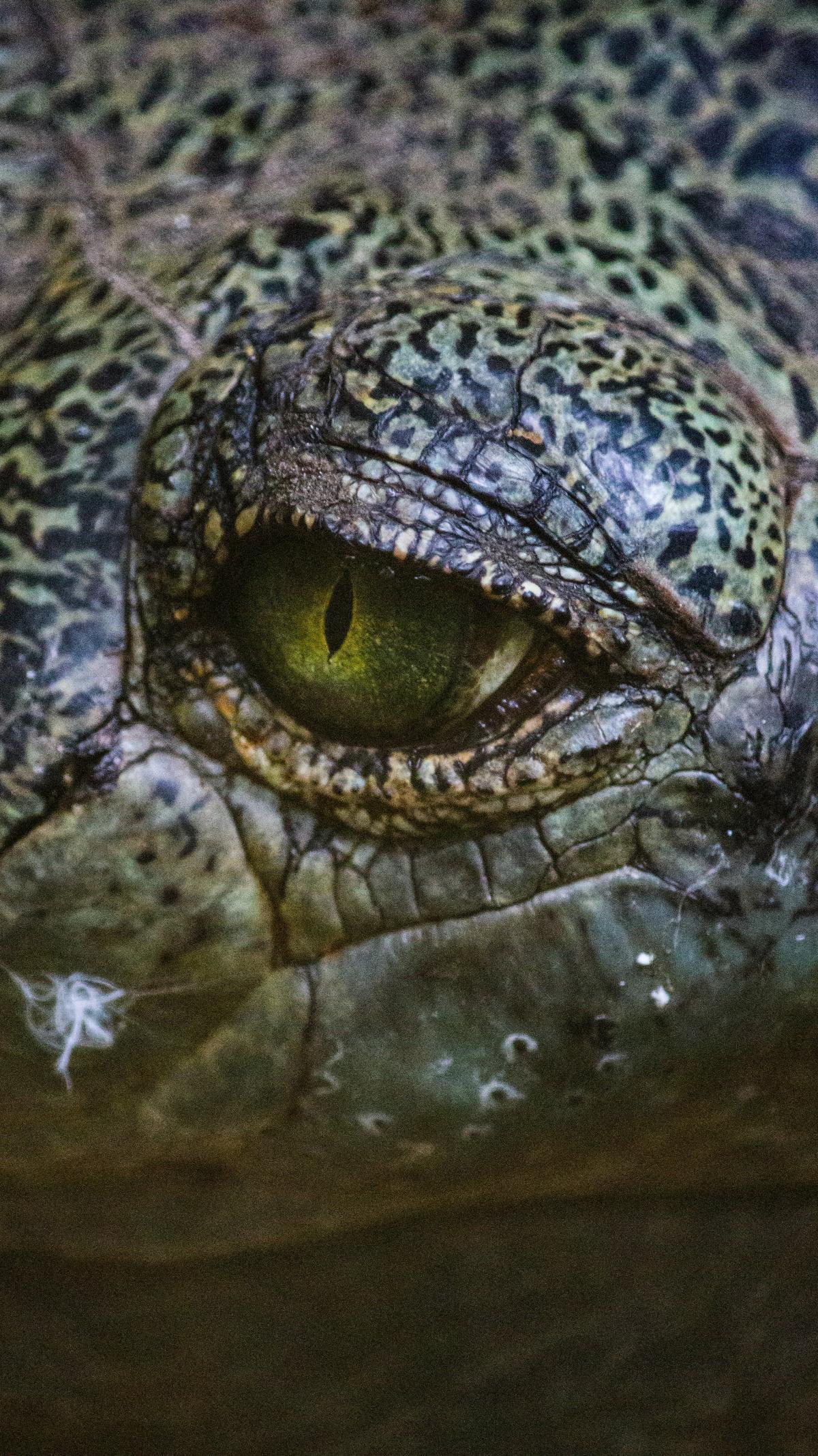 Alligator Reptile Crocodile