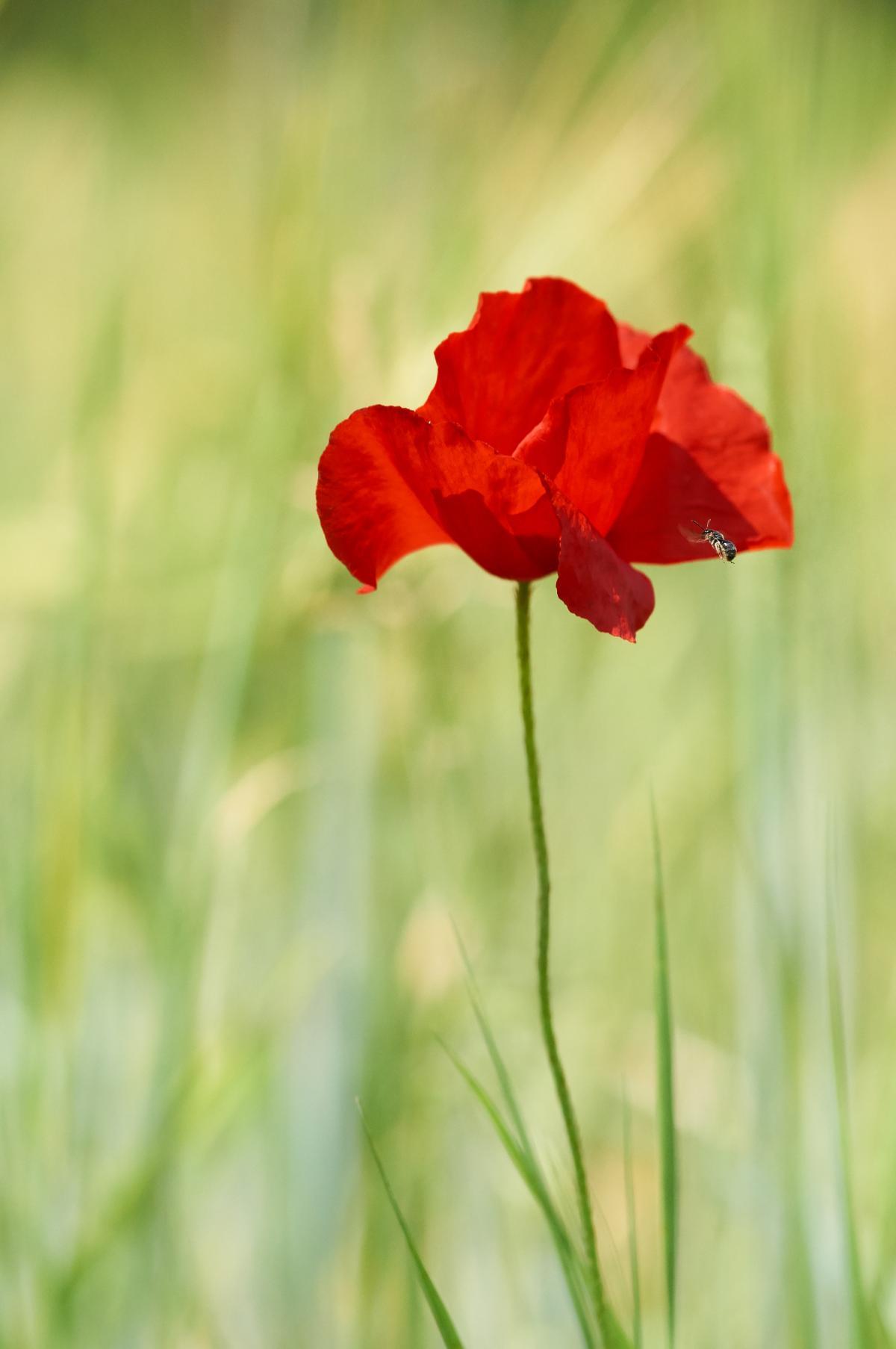 Poppy Flower Plant #426244