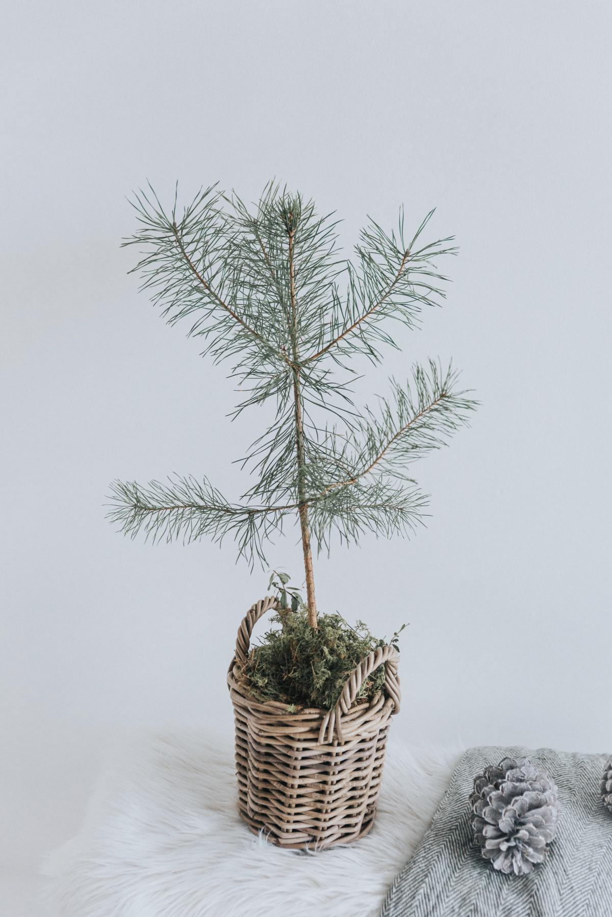 Evergreen Pine Tree #426397