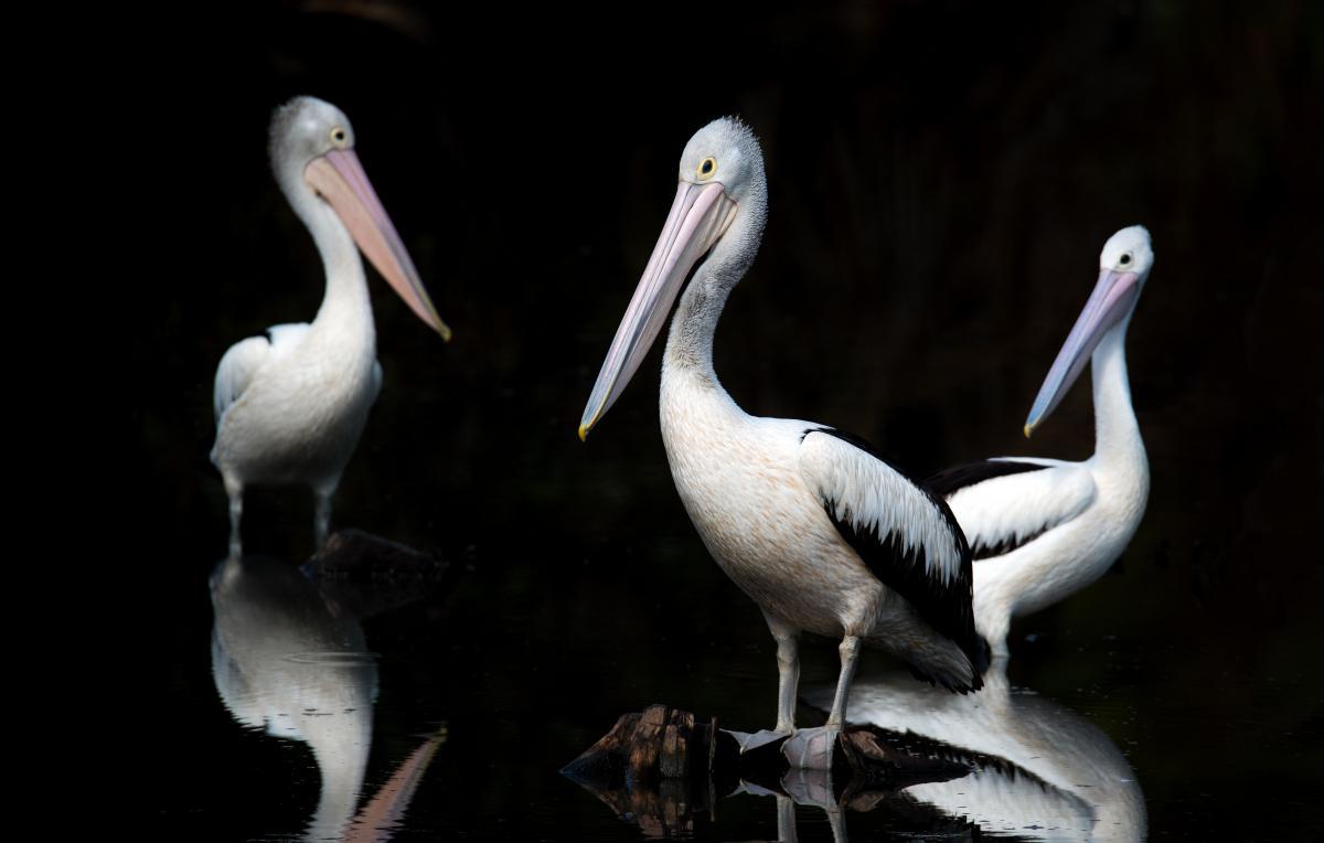 Pelican Seabird Bird