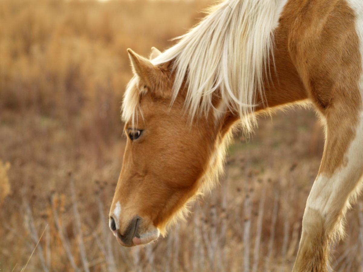 Animals horse grazing pony #43115