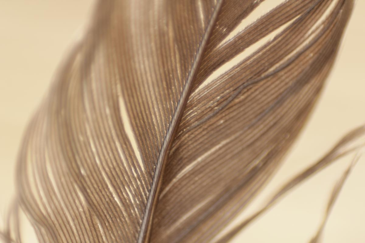Close Up View Gray Feather