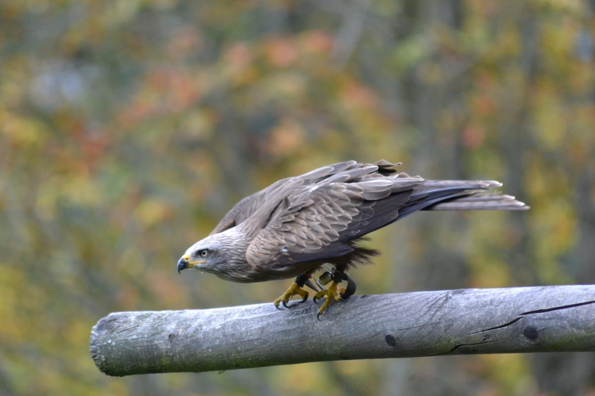 Selective Focus Photography Of Gray Threads: Free Grey Falcon Perched On Grey Branch In Selective Focus