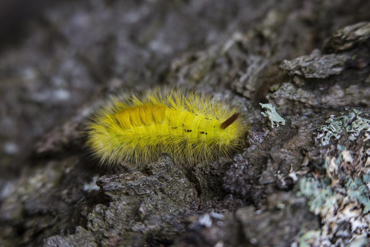 Yellow Tussock Moth Caterpillar on Black Rock Close Up Photography #43761
