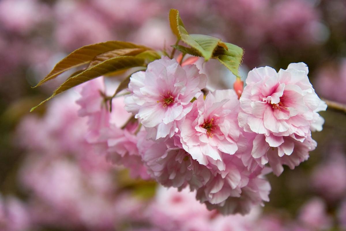 Petals spring tree flower #43791