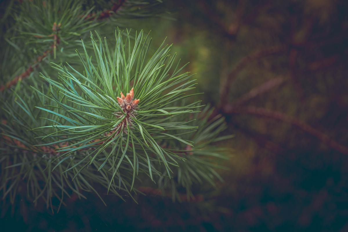 Green Pine Needles at Daytime #43836