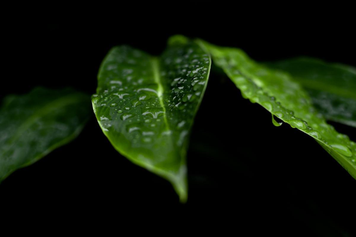 Rosée en feuilles vertes #44901