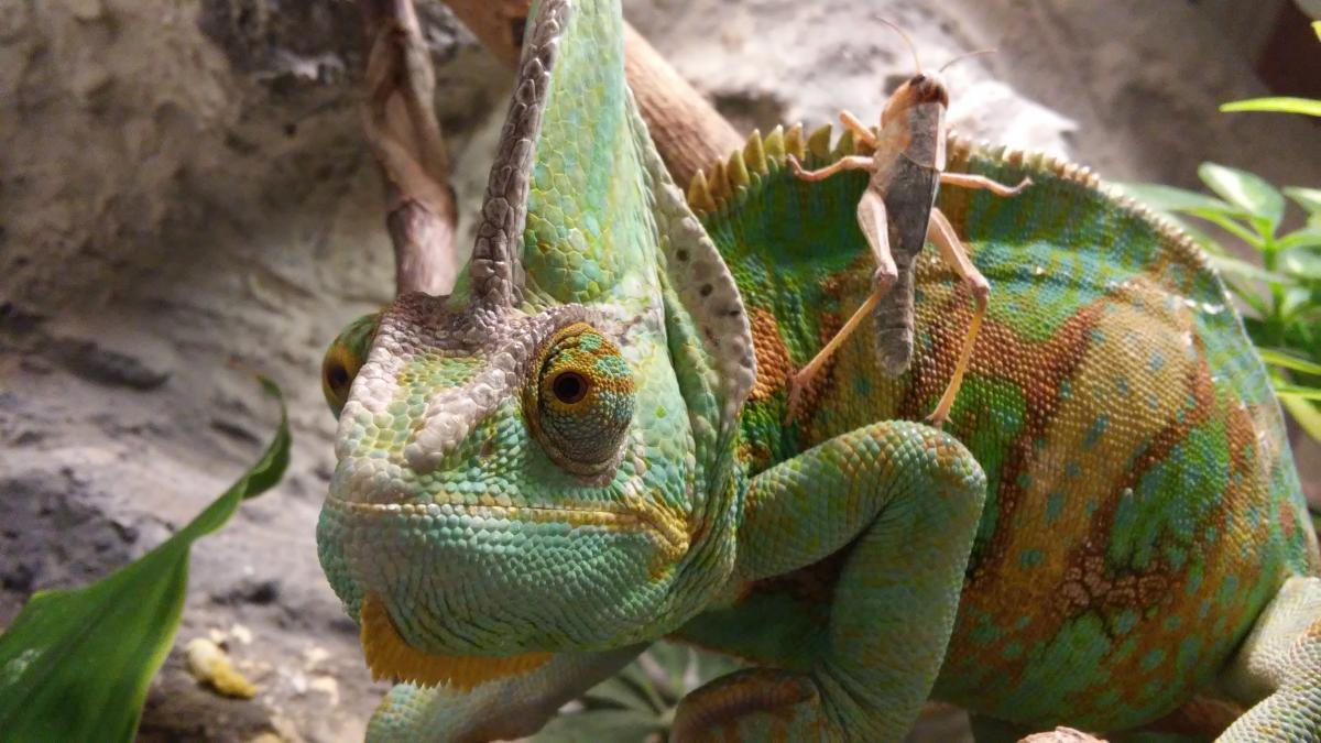 Green Brown and Yellow Cameleon #47460