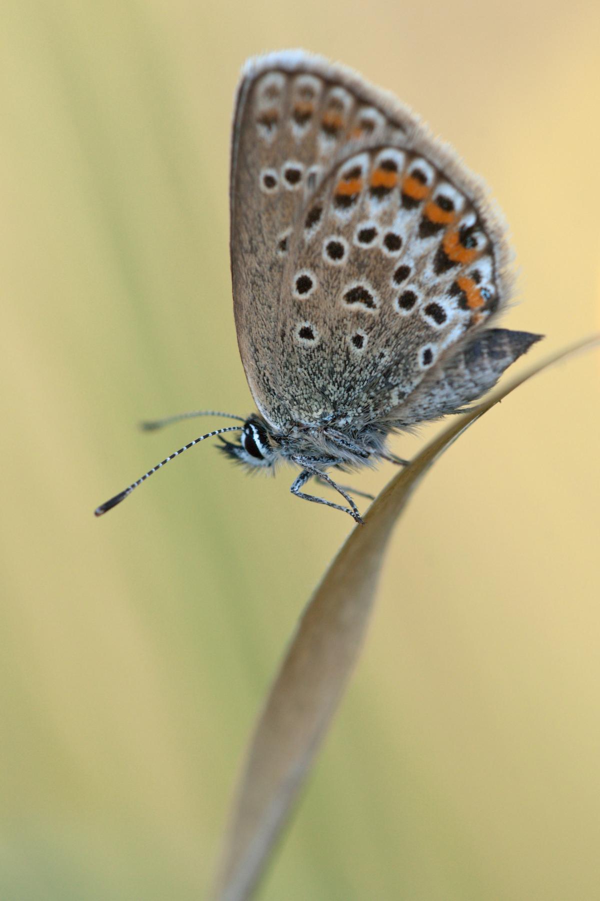 Brown Orange Butterfly
