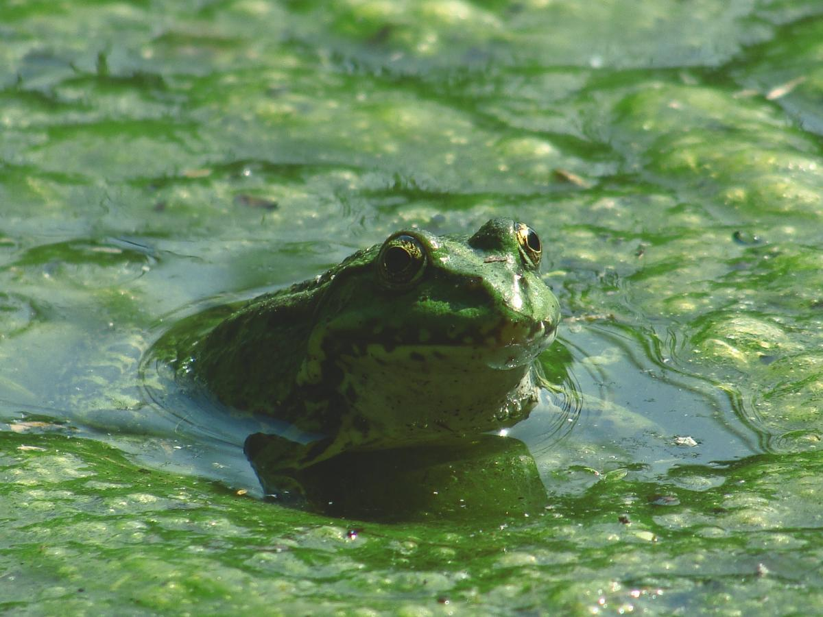 Frog on Body of Water during Daytime #48043