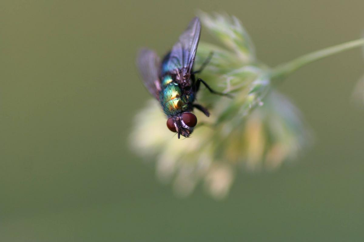 Black Red and Green Fly on White Flower Shallow Focus Photography #48304