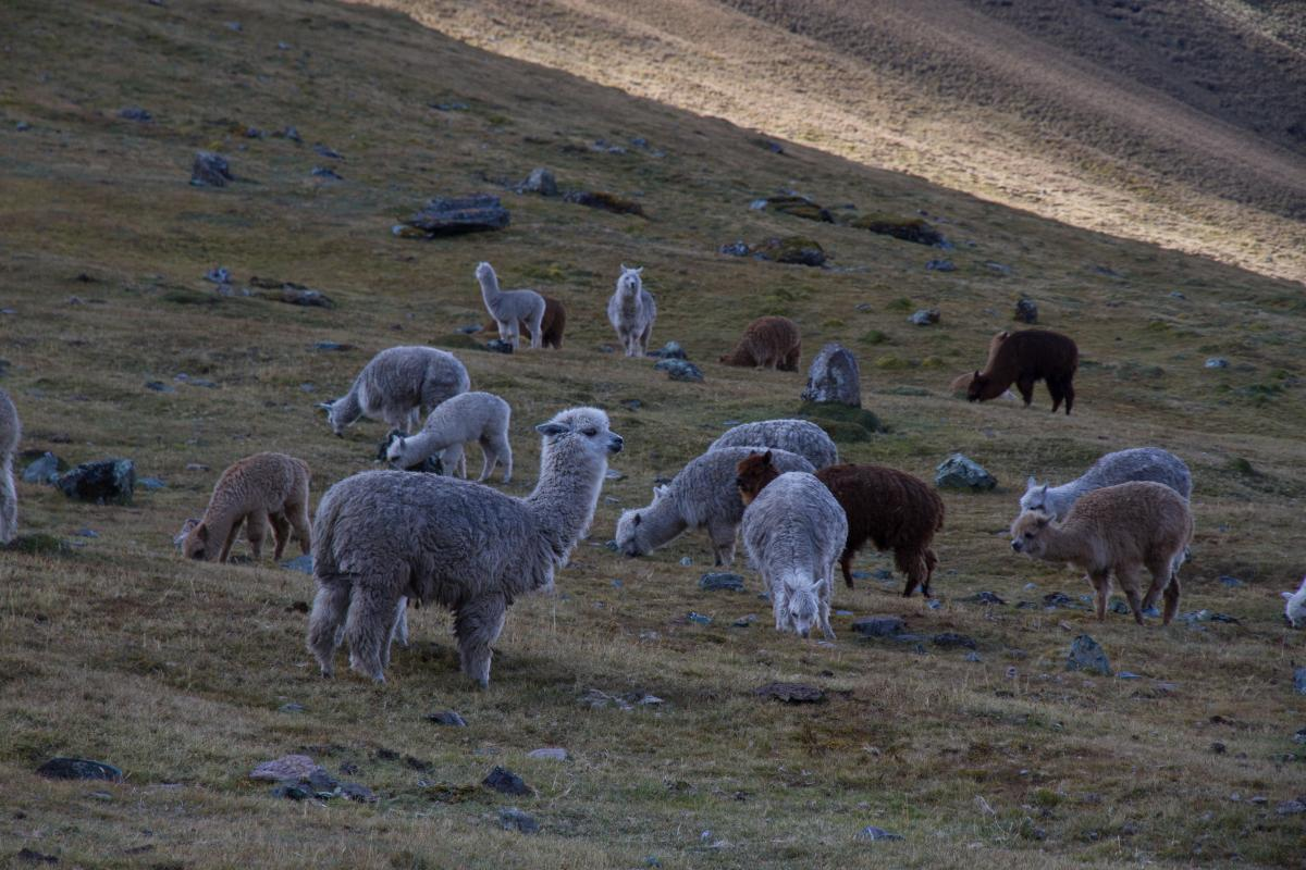 Herd of Sheep on Green Pasture during Daytime #48532